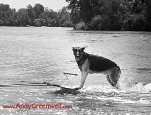 photo of a dog water skiing in a lake